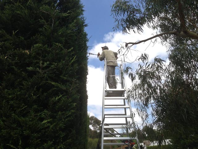 Cypress Hedge
