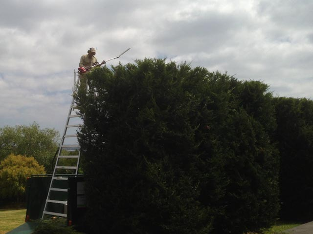 Giant Cypress Hedging